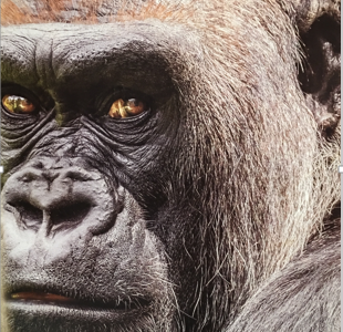 Recycle Your Tech Stuff, Save the Endangered Gorilla